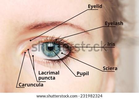 Eye and vision development