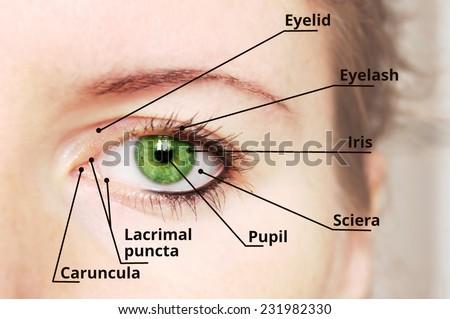 Human eye anatomy diagram - medical description. Green eye. - stock photo