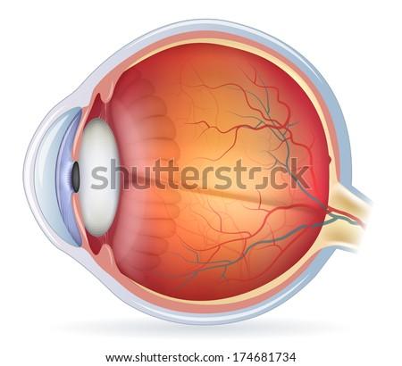 Human eye anatomy diagram, medical illustration. Isolated on a white background. - stock photo