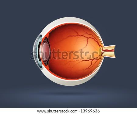 Human eye cross section - stock photo
