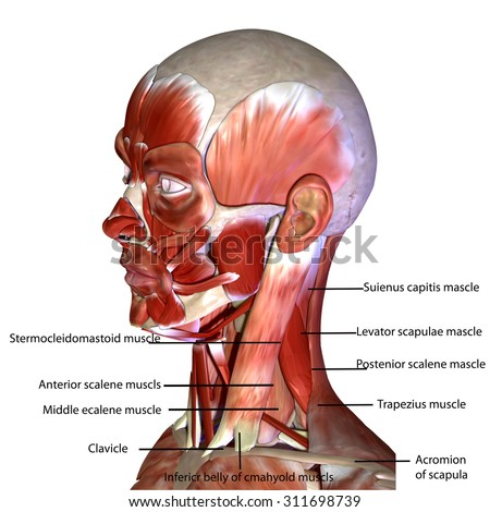 Muscles Of The Face Yelomdiffusion