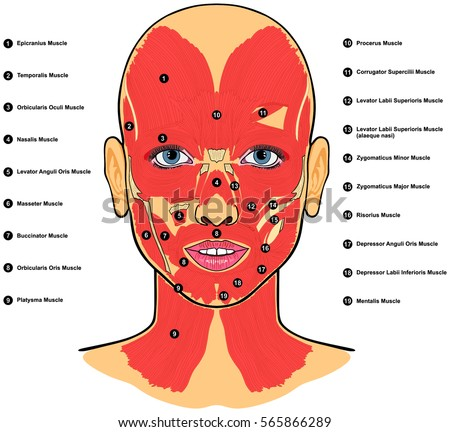 Human Face Muscles Anatomy Labeled Names Stock Illustration ...