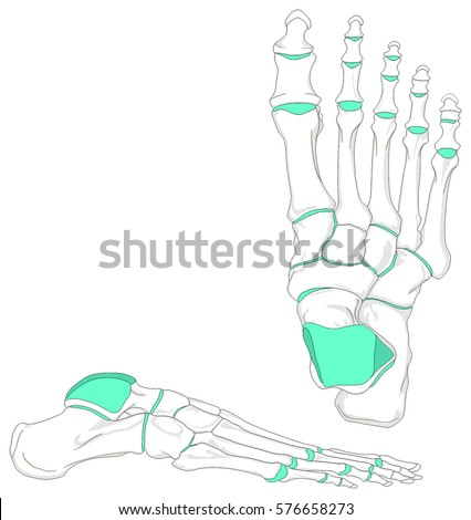 Human Foot Bones Anatomy Diagram Anatomical Stock Illustration