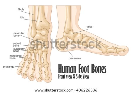 Human Foot Bones Front Side View Stock Illustration 406226536