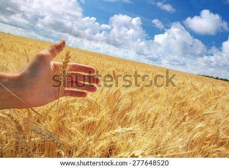 Human hand and meadow of wheat. Concepual scene. - stock photo