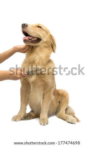 human hand brushing golden retriever fur isolated in white background with clipping path