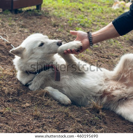 Human hand holding dog paw. Friendship with a white husky