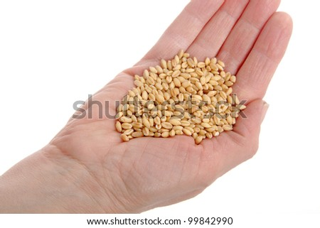 HUman hand holding heap of wheat seed, isolated on white