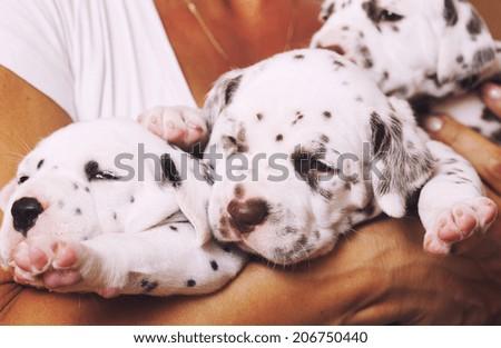 human hand holding many puppies dalmatian close up - stock photo