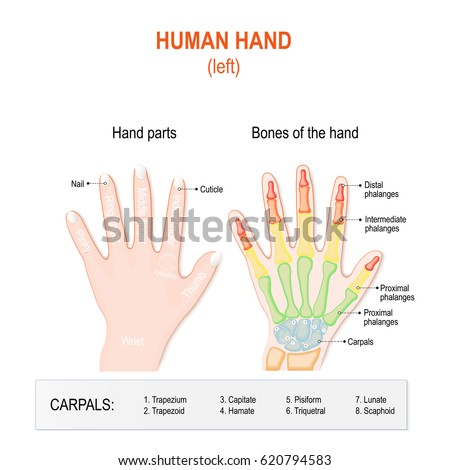 Human Hand Parts Bones Left Hand Stock Illustration 620794583