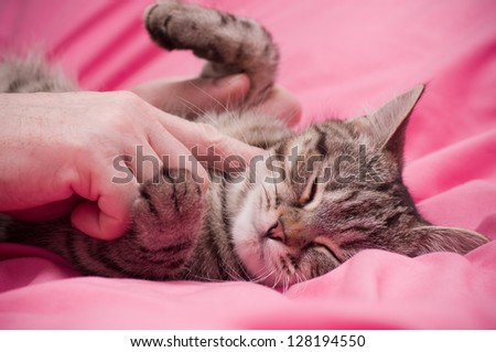 Human hand pets a Scottish-straight gray beautiful cat - stock photo