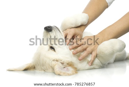 human hand playing with a puppy  isolated on white studio shot retriever
