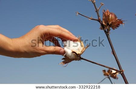 human hand touches a boll of ripe cotton, Uzbekistan - stock photo