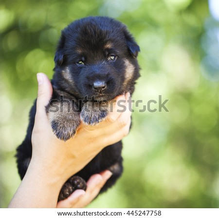 Human hands hold german shepherd puppy in natural environment - stock photo