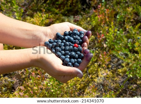 human hands holding a handful of blueberries with one cowberry (shape of heart), Russia, Karelia, 2014 - stock photo