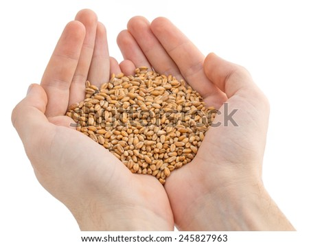 Human hands holding handful of wheat.
