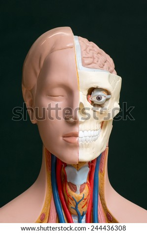 Human head anatomy model isolated on the dark background - stock photo