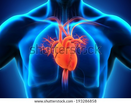 Human Heart Anatomy - stock photo