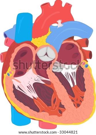 Human heart anatomy - stock photo