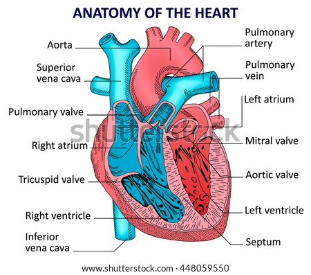 Diagram showing blood flow human heart stock vector 478957399 human heart anatomy ccuart Images
