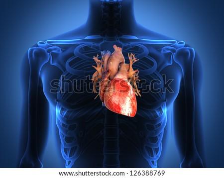 Human Heart Anatomy Healthy Body Stock Illustration 126388769
