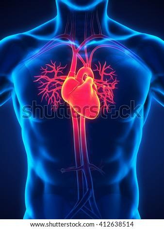 Human Heart Anatomy Illustration. 3D render - stock photo
