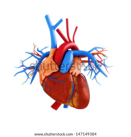 Human heart anatomy illustration on a white background. Part of a medical series - stock photo