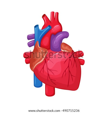 Human heart anatomy medical science illustration stock illustration human heart anatomy medical science illustration internal organ atrium and ventricle aorta ccuart Gallery