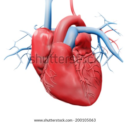 Human heart - cardiology health care illustration