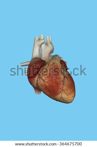 Human Heart - Featuring right and left ventricle, right auricle, pulmonary trunk, aorta, superior vena cava and right atrium. - stock photo