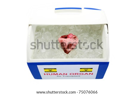 human heart for organ transplant on ice, isolated on white with room for your text - stock photo