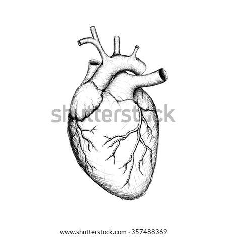 Human heart internal organs anatomy stock stock illustration human heart internal organs anatomy stock illustration ccuart Gallery