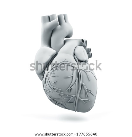 Human heart isolated on a white background