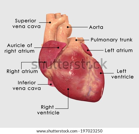 Human Heart Labelled - stock photo