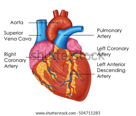 superior vena cava stock images, royalty-free images & vectors, Human Body