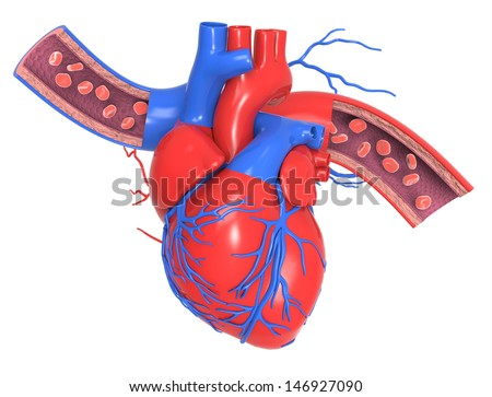 Human heart with veins and arteries - stock photo