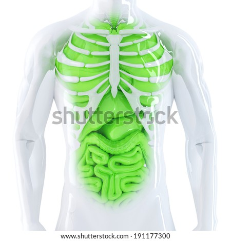 Human internal organs. Isolated. Contains clipping path - stock photo