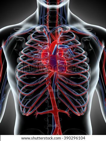 Human Internal System - Circulatory System, medical concept. - stock photo