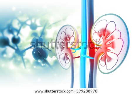 Human kidney cross section - stock photo