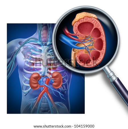 Human kidney magnification from a body as a medical diagram with a cross section of the inner organ as a health care illustration of the anatomy of the urinary system.