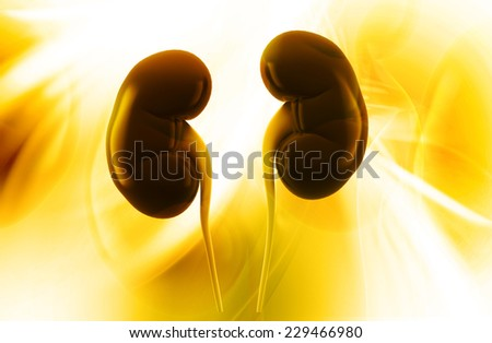 Human kidney structure - stock photo