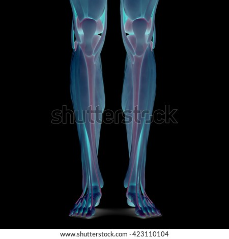 Human Leg Joints with Muscles. 3D - stock photo