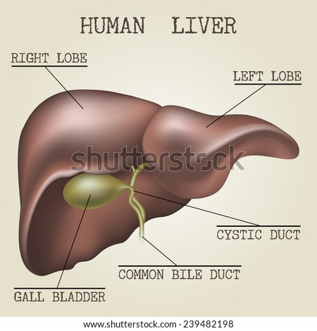 Human liver anatomy illustration drawn in vintage encyclopedia style - stock photo