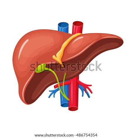 Human liver anatomy. Medical science illustration. Internal human organ: gallbladder, aorta and portal vein, hepatic duct.