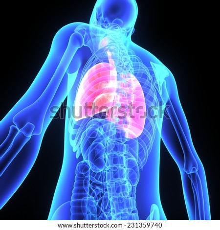 Human Lungs - stock photo