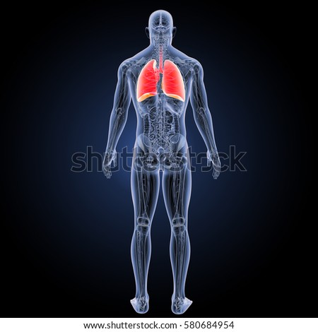 Human lungs posterior view 3d illustration