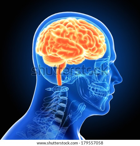 Human Male Brain Scan - stock photo
