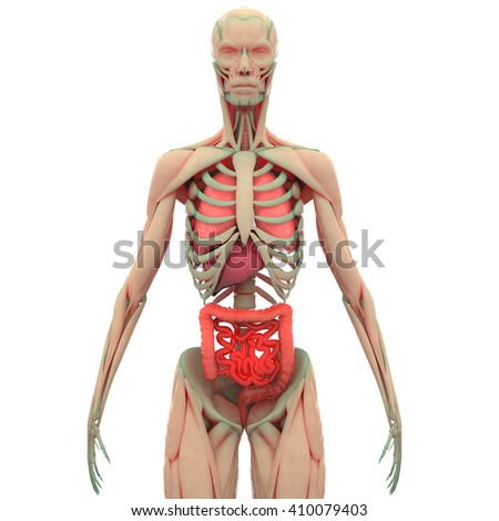 Human Muscle Body with Organs (Lungs, Liver, Large and Small Intestine)