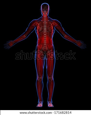 Human muscular system and skeleton