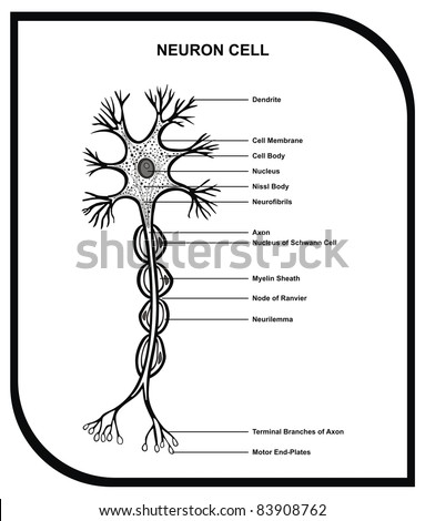 Human Neuron Cell - Including Cell Parts ( dendrite, nucleus, myelin sheath, axon, body, membrane, terminal branches, motor end ... ) - Useful for Education - stock photo